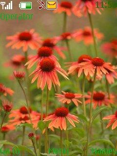 Тема оранжевые цветы (orange flowers) для Нокиа