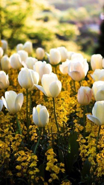 Картинка белые тюльпаны (White Tulips) 360x640