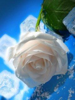 Картинка белая роза (white rose) 240x320 для Нокиа